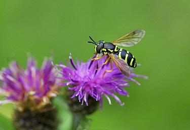 Hoverfly (Chrysotoxum sp), Sussex, England  -  Stephen Dalton