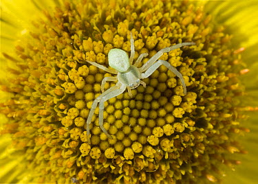 Goldenrod Crab Spider (Misumena vatia) on flower  -  Stephen Dalton