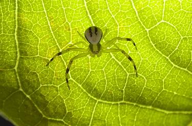 Goldenrod Crab Spider (Misumena vatia) juvenile  -  Stephen Dalton