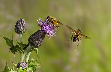 Drone Fly (Eristalis tenax) taking flight  -  Stephen Dalton