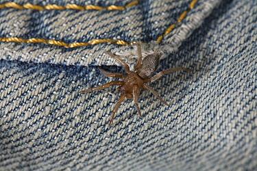Mouse Spider (Scotophaeus blackwalli) on clothing  -  Stephen Dalton