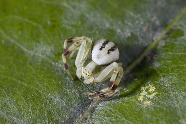 Goldenrod Crab Spider (Misumena vatia) juvenile, Sussex, England  -  Stephen Dalton
