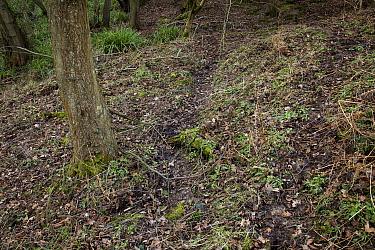 Fallow Deer (Dama dama) destruction of woodland understory  -  Stephen Dalton