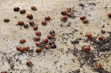 Asian Ladybird Beetle (Harmonia axyridis) group waking from hibernation, Sussex, England  -  Stephen Dalton