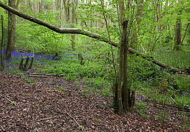 Fence keeping deer out, showing the effects of them on the forest undergrowth, Sussex, England  -  Stephen Dalton
