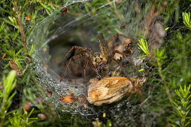 Labyrinth Spider (Agelena labyrinthica) feeding on butterfly in web, Sussex, England  -  Stephen Dalton