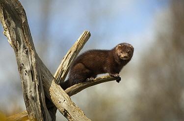 American Mink (Neovison vison), introduced species, UK  -  Stephen Dalton