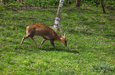 Reeve's Muntjac (Muntiacus reevesi) in woodland clearing, Surrey, England  -  Stephen Dalton