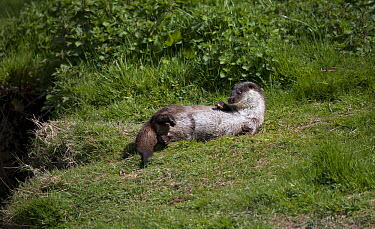 European River Otter (Lutra lutra) on shore, Surrey, England  -  Stephen Dalton