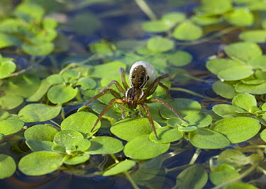 Pond Pirate Spider (Pirata piraticus) with egg-sac on pond surface, Sussex, England  -  Stephen Dalton