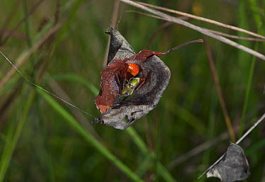 Orb-weaver Spider (Araneus alsine) in retreat with grasshopper  -  Stephen Dalton