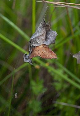 Orb-weaver Spider (Araneus alsine) in retreat  -  Stephen Dalton