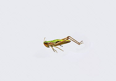 Meadow Grasshopper (Chorthippus parallelus) leaping  -  Stephen Dalton
