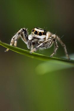 Jumping Spider (Plexippus paykulli)  -  Stephen Dalton