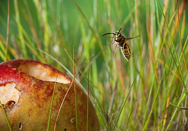 Common Wasp (Vespula vulgaris) flying towards apple  -  Stephen Dalton