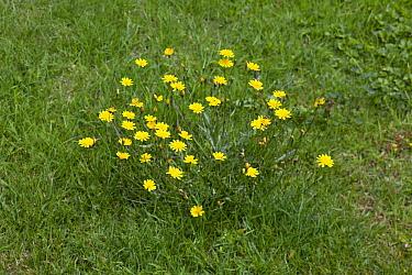 Hypochaeris (Hypochaeris sp) growing on lawn, Sussex, England  -  Stephen Dalton