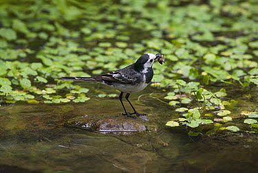 White Wagtail (Motacilla alba) with prey, Sussex, England  -  Stephen Dalton