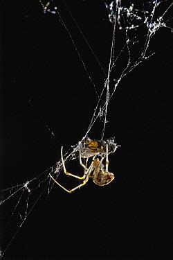 American House Spider (Achaearanea tepidariorum) wrapping housefly prey  -  Stephen Dalton