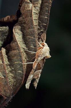 Angle Shades (Phlogophora meticulosa) moth, England  -  Stephen Dalton