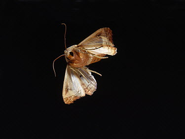 Angle Shades (Phlogophora meticulosa) flying at night, Sussex, England  -  Stephen Dalton