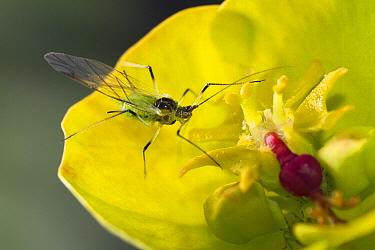 Spurge (Euphorbia sp) with aphid, Sussex, England  -  Stephen Dalton