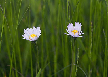 Common Daisy (Bellis perennis) with petals opening after sunrise, Sussex, England, sequence 2/3  -  Stephen Dalton