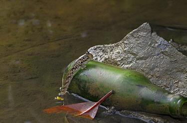 Silverline Mudskipper (Periophthalmus kalolo) on discarded bottle, Seychelles  -  Stephen Dalton