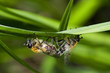 Hoverfly (Eristalis sp) resting on leaf underside, Sussex, England  -  Stephen Dalton