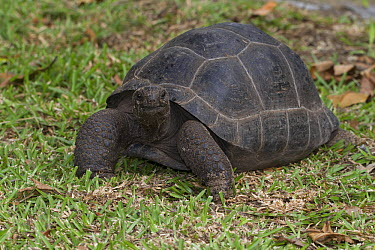 Aldabra Giant Tortoise (Aldabrachelys gigantea), Silhouette Island, Seychelles  -  Stephen Dalton