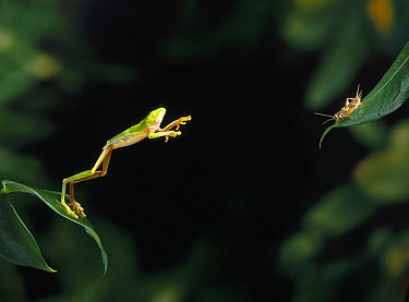 Red-eyed Tree Frog (Agalychnis callidryas) leaping at cricket, native to Central America  -  Stephen Dalton