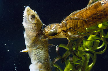 Hawker (Aeshna sp) nymph eating stickleback  -  Stephen Dalton