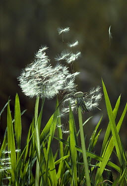 Dandelion (Taraxacum officinale) dispersal of seed by the wind, Sussex, England  -  Stephen Dalton