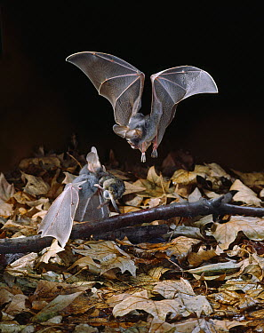 False Vampire Bat (Megaderma lyra) flying and on the ground squabbling over rodent prey, India  -  Stephen Dalton