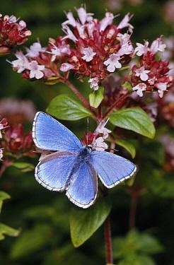 Adonis Blue (Lysandra bellargus) butterfly on flower  -  Stephen Dalton