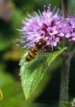 Marmalade Hover Fly (Episyrphus balteatus) feeding on flower nectar, Sussex, England  -  Stephen Dalton