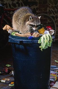 Raccoon (Procyon lotor) scavenging in garbage bin at night  -  Stephen Dalton