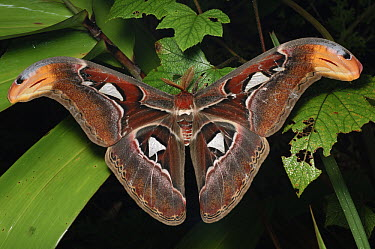 Atlas Moth (Attacus atlas) male, Khao Yai National Park, Thailand  -  Ch'ien Lee
