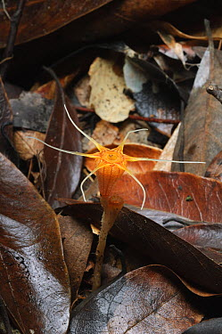 Fairy Lantern (Thismia ornata), tiny myceheterotrophic plant was described as a new distinct species in March of 2020, found in deep pockets of decaying leaf litter on limestone hills, Bau, Fairy Cave...  -  Ch'ien Lee