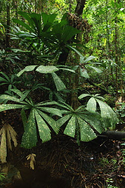 Fan Palm (Licuala bintulensis) leaves, Similajau National Park, Sarawak, Borneo, Malaysia  -  Ch'ien Lee