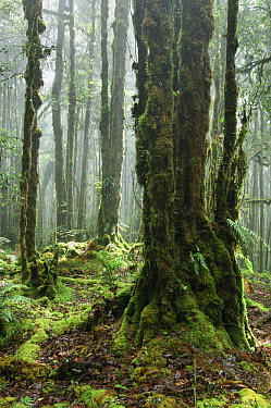 Mossy forest with mist on tropical mountain summit, Lore Lindu National Park, Sulawesi, Indonesia  -  Ch'ien Lee