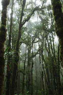 Trees heavily laden with epiphytic plants in the montane rainforest, Lore Lindu National Park, Sulawesi, Indonesia  -  Ch'ien Lee