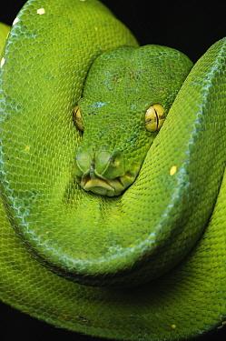 Green Tree Python (Morelia viridis) coiled, Jakarta, Java, Indonesia  -  Ch'ien Lee