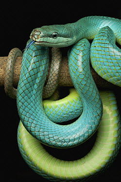 Red-tailed Green Ratsnake (Gonyosoma oxycephalum), Jakarta, Java, Indonesia  -  Ch'ien Lee