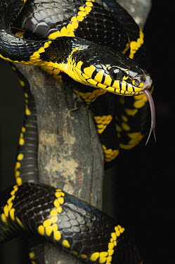 Mangrove Cat Snake (Boiga dendrophila) with extended tongue, Jakarta, Java, Indonesia  -  Ch'ien Lee