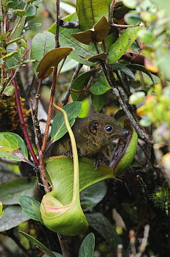 Low's Pitcher Plant (Nepenthes lowii) derives nitrogen nutrients from droppings of Mountain Tree Shrew (Tupaia montana) which are attracted to the nectar secretions, inevitably leaving their scat in t...  -  Ch'ien Lee