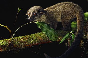 Small-toothed Palm Civet (Arctogalidia trivirgata), Gunung Mulu National Park, Sarawak, Borneo, Malaysia  -  Ch'ien Lee
