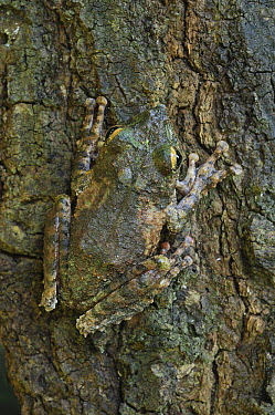 Frilled Treefrog (Rhacophorus appendiculatus) camouflaged on bark, Kubah National Park, Sarawak, Borneo, Malaysia  -  Ch'ien Lee