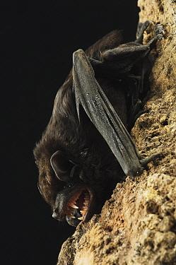 Large False Serotine (Hesperoptenus tomesi) bat, Bintulu, Bukit Sarang Conservation Area, Sarawak, Borneo, Malaysia  -  Ch'ien Lee