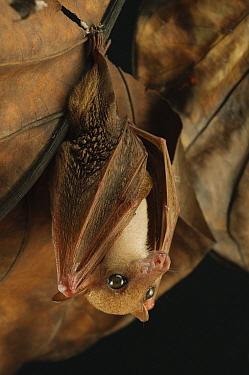 Lesser Long-tongued Fruit Bat (Macroglossus minimus), Bintulu, Bukit Sarang Conservation Area, Sarawak, Borneo, Malaysia  -  Ch'ien Lee
