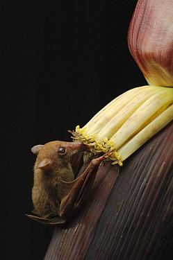 Lesser Long-tongued Fruit Bat (Macroglossus minimus) feeding on the nectar of banana flowers, Bintulu, Bukit Sarang Conservation Area, Sarawak, Borneo, Malaysia  -  Ch'ien Lee
